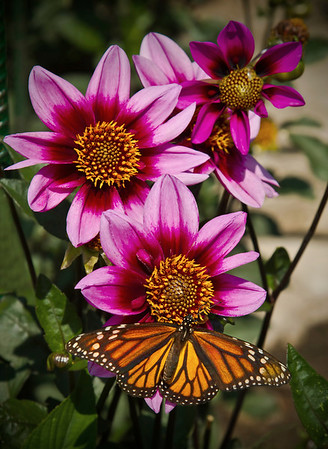 Monarch Butterfly and Blue Bayou Dahlia at the Minnesota Landscape Arboretum, #0454