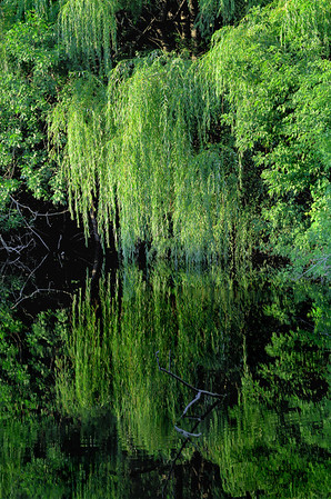 Weeping Willow, Shoreview, Mn - #0193