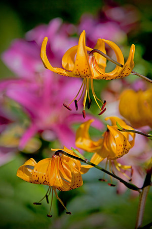 Lesser Tiger Lily with Asiatic Lily in background, Minnesota Arboretum, #0714