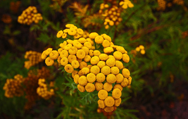 Common Tansy - at Grand Marias, Minnesota; Flowers are in flat clusters up to 4 inches across at the top of the plant, and from stems that arise from the leaf axils near the top of the plant. Individual flowers look like golden yellow buttons, about ¼ inch across. There are no petals (ray flowers), only the center disc flowers. There are from 20 to 200 flowers, #0159