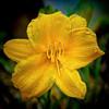 Yellow Dayl8ily - #1442