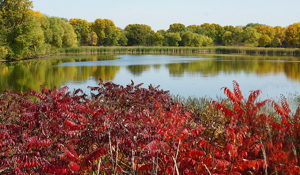 Sumac in the fall, Shoreview, Mn., #0184
