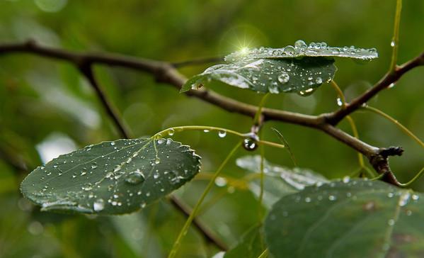 Droplets at dawn, Minnesota Arboretum,  #0456