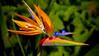 Bird of Paradise, Maui -#0658