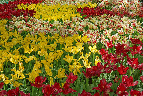 Flowers at Keukenhof Gardens in Amsterdam, Holland -- the world's largest gardens, #0342
