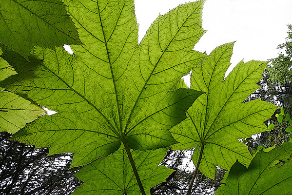 Large leaf near the Mendenhall Glacier, Alaska, #0148