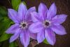 Clematis Flower, #1441
