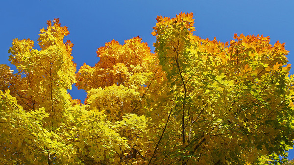 Tinge of red maples, Shoreview, Mn. #0187