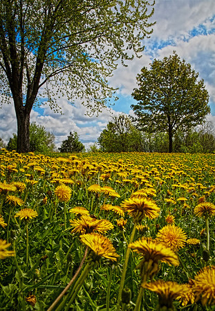 Dandelions in Shoreview, Mn - #0696