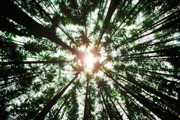 Tall lumber in Alaska Kenai Peninsula - #0117