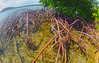The mangroves along the channels and lagoons of Cas Cay on St. Thomas, Virgin Islands, #0214