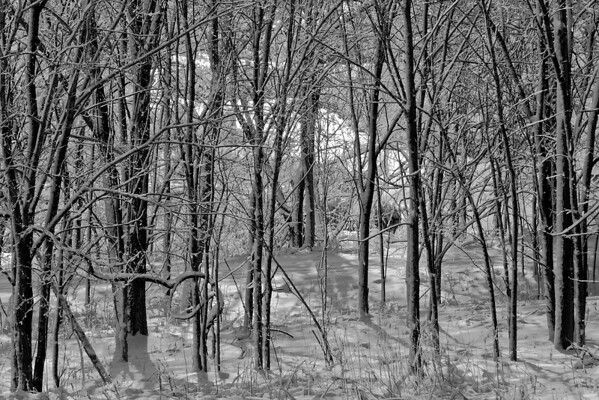 Wooded forest, Shoreview, Mn. #0679