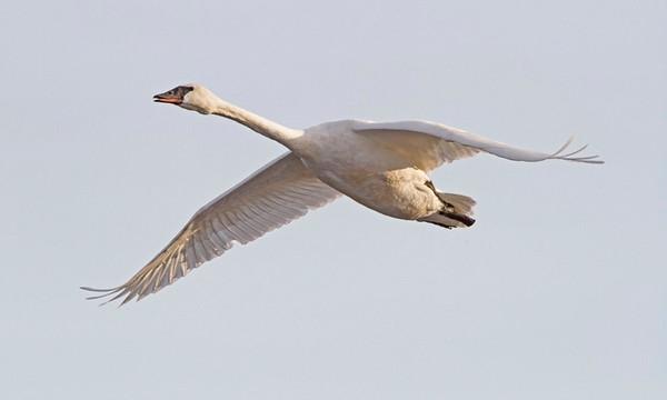 Trumpeter Swan, #0775