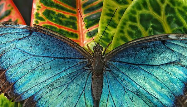 Blue Morpho, 1827