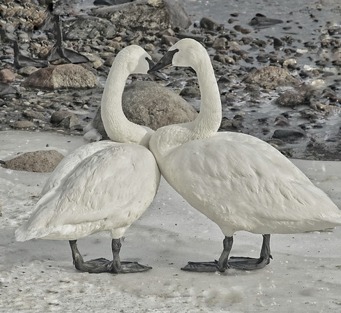Mated Swans; #1731