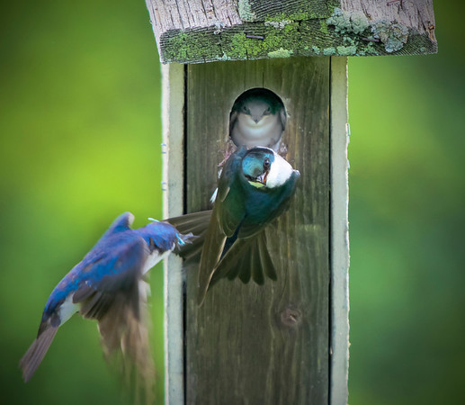 Tiny tree swallows at the feeding station for their chicks in  at Grass Lake, Mn. #0700