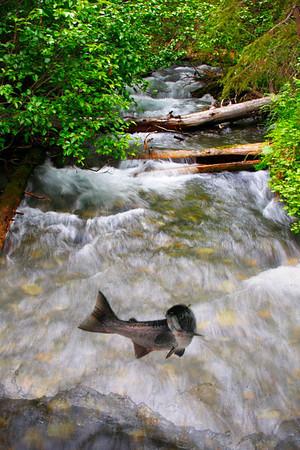 Salmon run in the Kenai, Alaska - -#0139