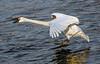 Landing Trumpeter Swan, #1952