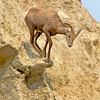 Bighorn sheep checks her footing on a a rock shelf in the Badlands National Park, #0726
