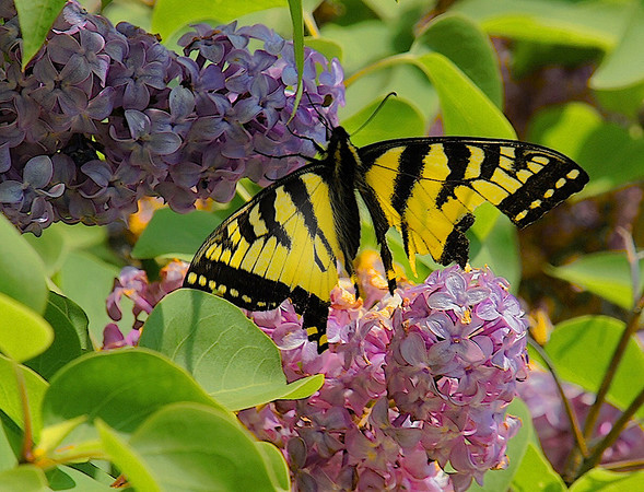 Malachite Butterfly #0035