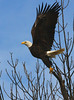 Bald Eagle, St. Crois River, Minnesota  - #0020