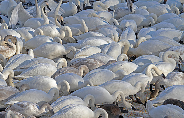 Trumpeter Swan - #0593