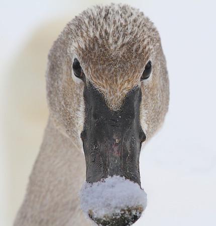 Snow on the beak of swan, #0783