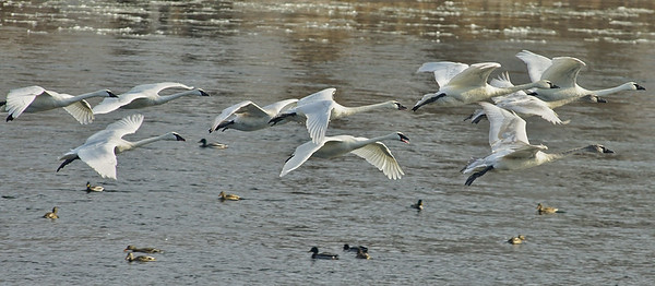 Swans landing on Mississippi River; #1729