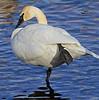 Trumpeter swan, #0792