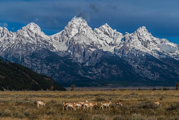 Pronghorn graze the Tetons, #1013