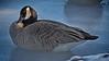 Canada Goose in Monticello, Minnesota, #0605
