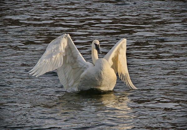 Trumpeter Swan - #0778