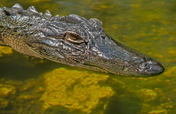 Juvenile Swamp Gator