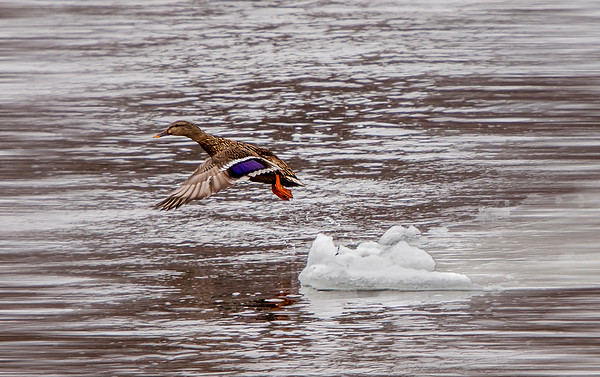 Leap from the Ice Flow, #1079