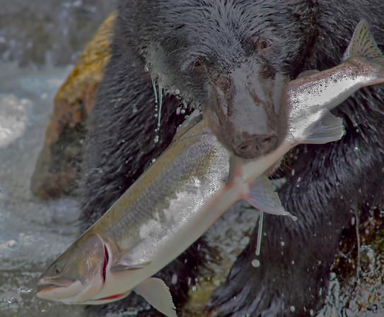Black bear fishing for salman, Anan Creek, Alaska, #0446