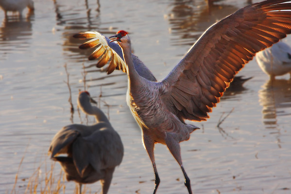 Sandhill Crane makes a point with her/his mate - #0132