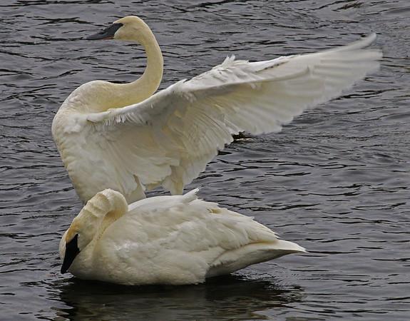 Trumpter Swan Mates; #1353