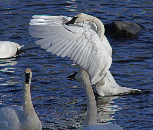 Trumpeter swans stretching, #0615