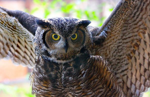 Horned Owl in Alaska -  #0145