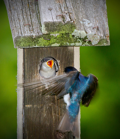 Tiny tree swallows at the feeding station for their chicks at Grass Lake, in Shoreview, Mn. #0702