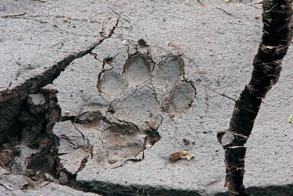 Bear paw print  - #0027
