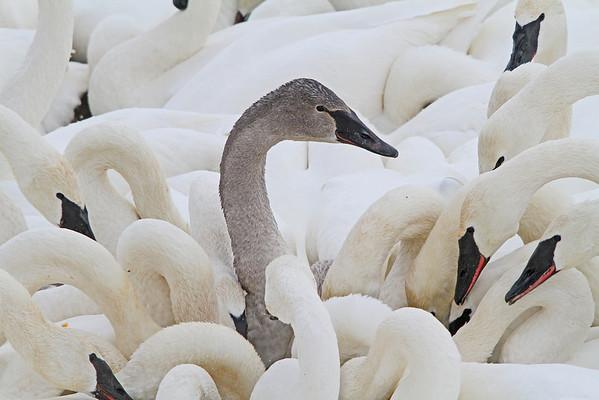 Juvenile Cygnet Trumpeter Swan - #0787