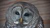 Barred Owl, Minnesota Raptor Center, #0619