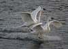 Trumpeter Swans Landing - #0779