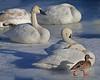 Trumpeter swans, #0601