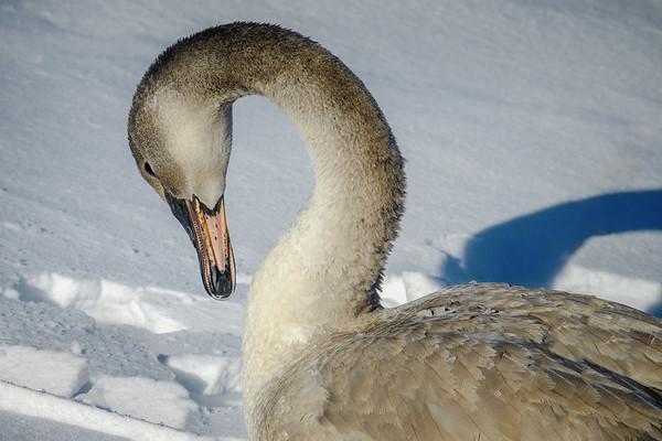 Juvenile Cygnet Trumpter Swan; #1848