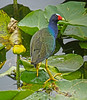 A purple gallinule in the Florida Everglades, #0207