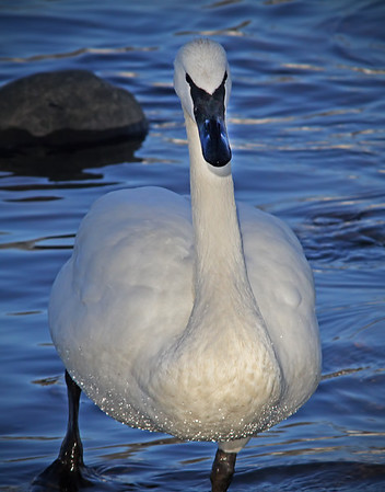 Trumpeter swan, #0602
