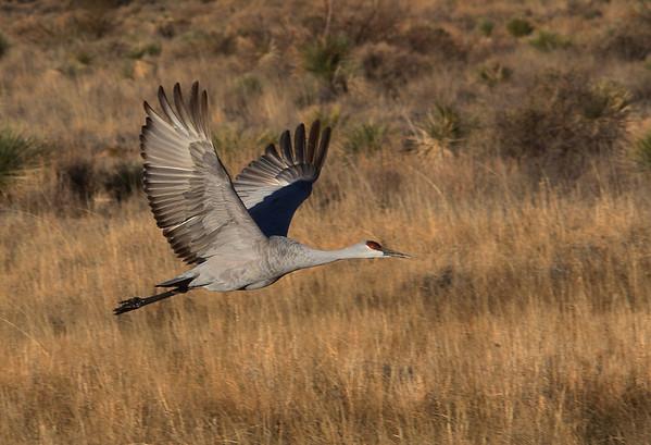 Sandhill Crane - Socorro, NM - Bosque del Apache, #0230