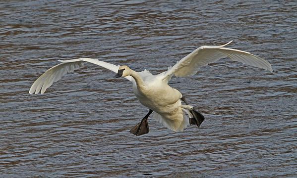 Trumpeter Swan - #0788